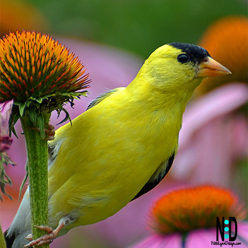 The American Goldfinch is a beautiful songbird that you can easilyattract you yourbackyard. The males have bright yellow coats with a bold black cap and black wings barred with white.