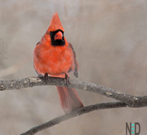 Male Cardinal in Early Spring