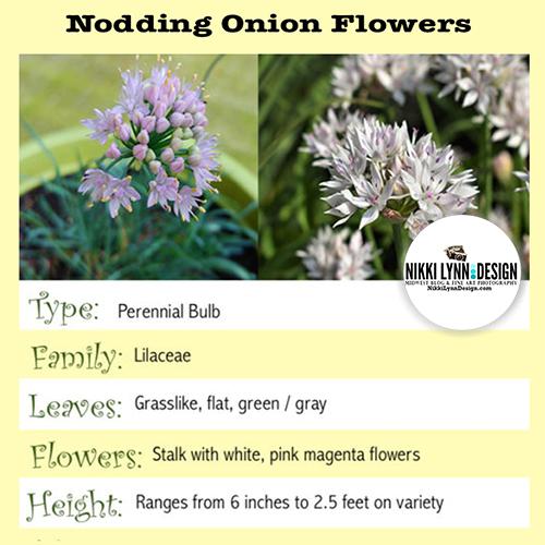 Nodding Onion Flower