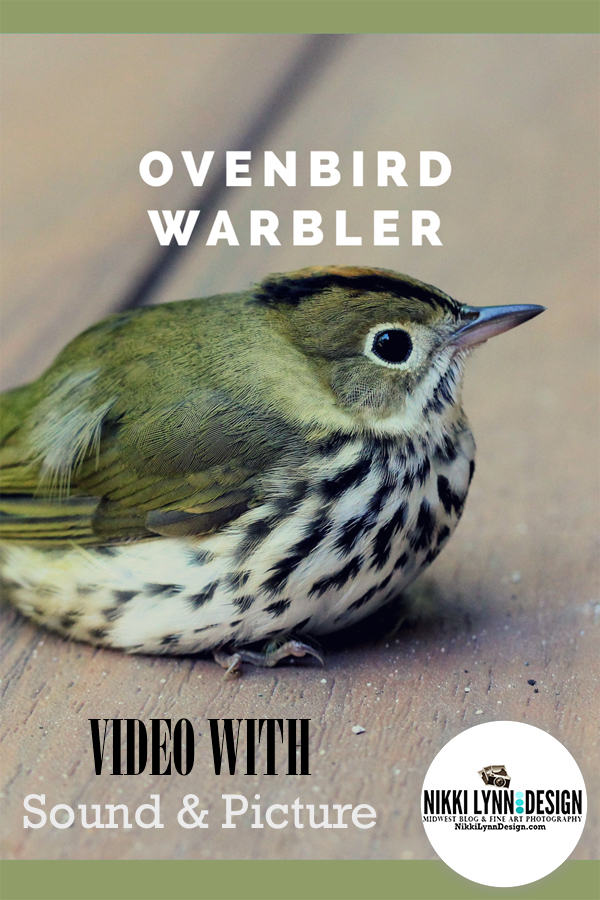 Ovenbird Warbler Video