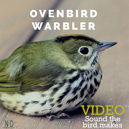 Ovenbird Warbler Video