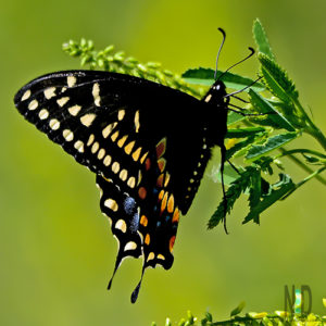 Black Swallowtail Butterfly Black Yellow Blue and Orange Butterfly