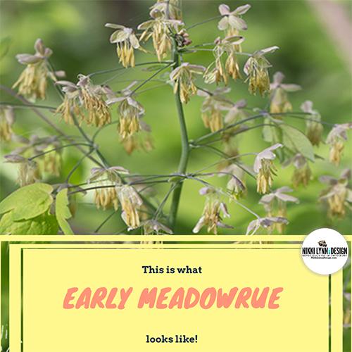 Early Meadowrue Wildflower in Wisconsin