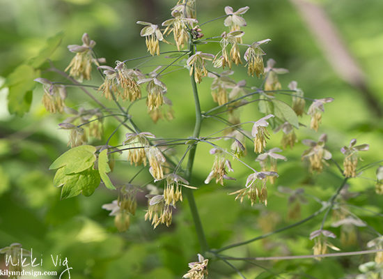Early Meadowrue Wildflower- A perennial, native wildflower. The stems are a light purple color and the flowers are bell-shaped and produce yellow hanging flowers in Wisconsin
