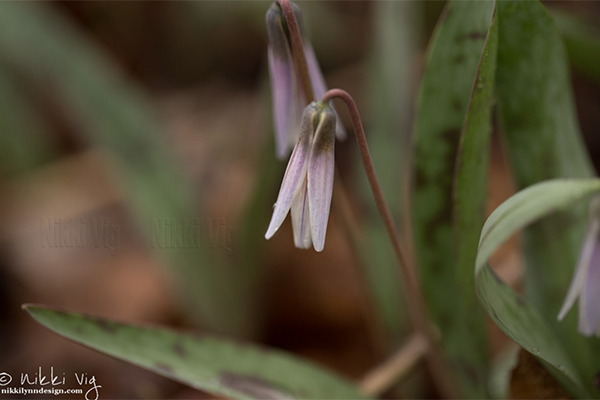 The trout lily grows in cream, yellow, pink & mauve, in Wisconsin. Names this wildflower is known by Fawn lily, Spotted Adder's Tongue, Dogtooth Violet