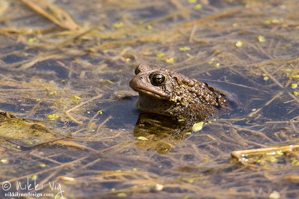 The Eastern American Toad thrilling video - the thrilling sound can last for up to 30 seconds at a time. The video contains one image of the toad and the audio sound.