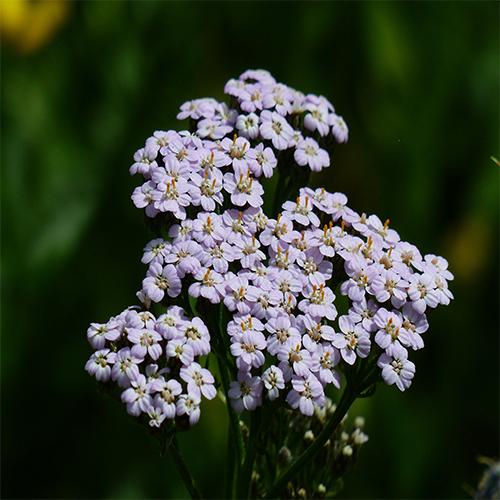 Achillea or Yarrow Flowers For the Flower Garden