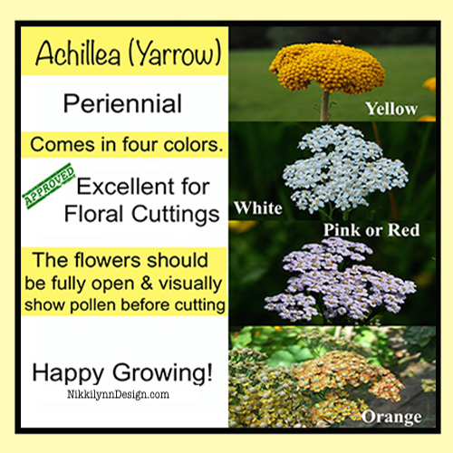 Achillea or Yarrow Flowers