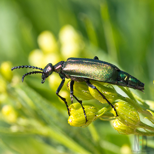 One of many beetles in the blister beetle family. The beetles are part of the Meloidae family, they are called blister beetles for a good reason.