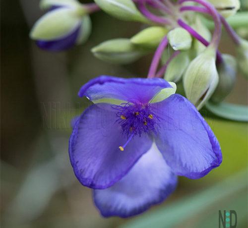 Spiderwort Wildflower