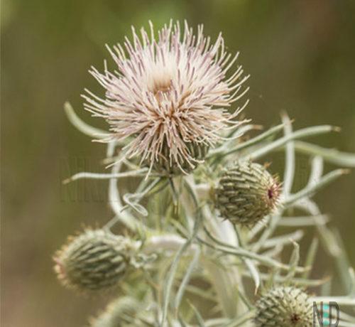 Dune Thistle Flower Wildflower