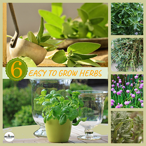 Growing Herbs- 6 Easy to Grow Herbs