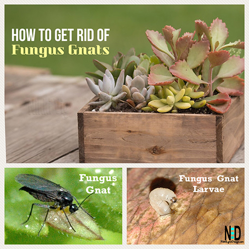 Get Rid Of Fungus Gnats On Houseplants