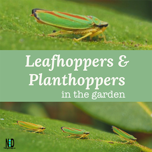 Leafhoppers and Planthoppers