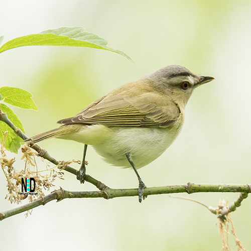 Red Eyed Vireo is a songbird that is mainly olive-green on the upper parts with white underparts. The iris of the bird is red and dark blackish line through the eyes and a wide white stripe just above that line.