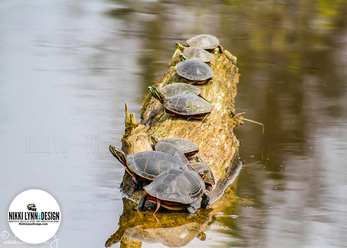 Ten Turtles on a Log