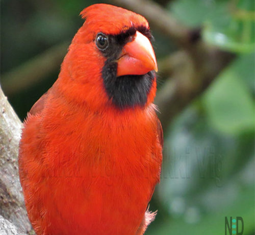 All About the Northern Cardinal