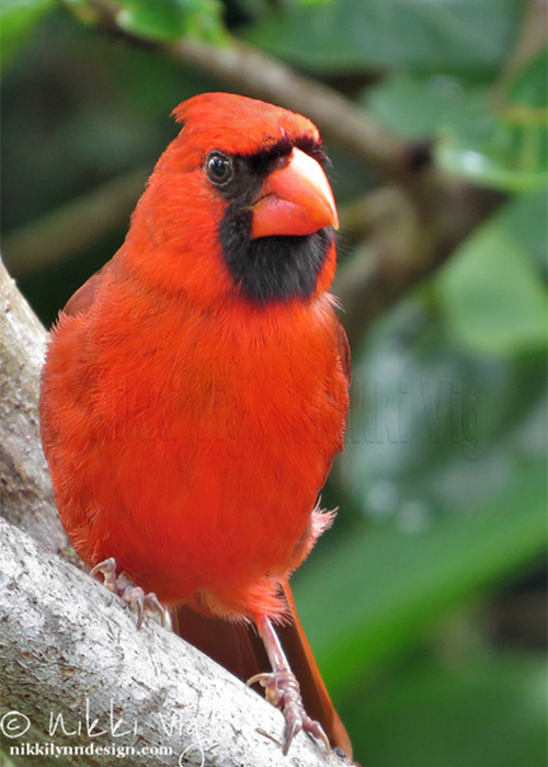 Visitor From Heaven Red Cardinal Wildlife Photography Notecard