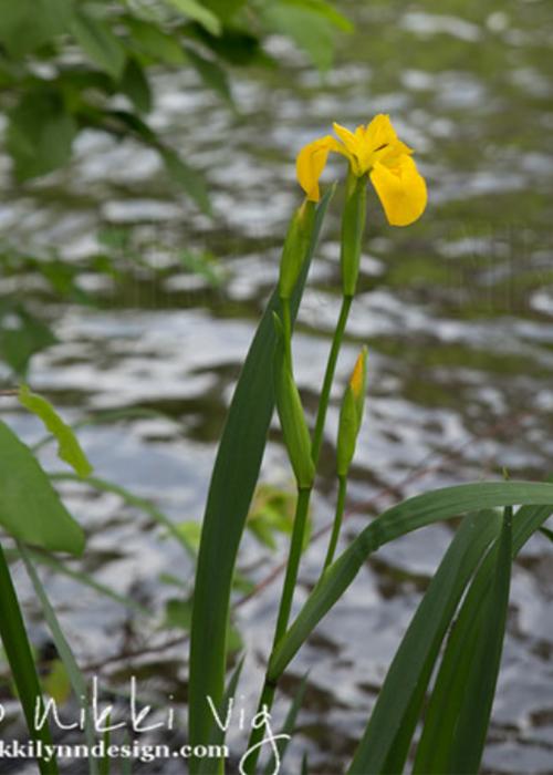 Yellow Flag Iris - Invasive Wisconsin