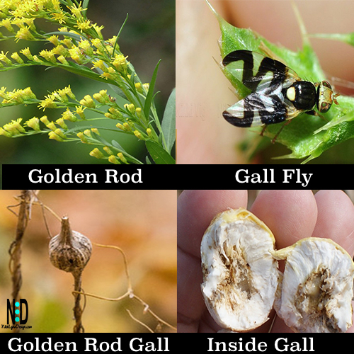 Gall Fly Produces Goldenrod Galls