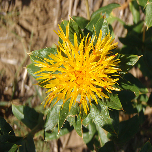 Grow Your Own Safflower Seed