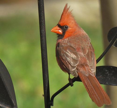 Attracting Northern Cardinal