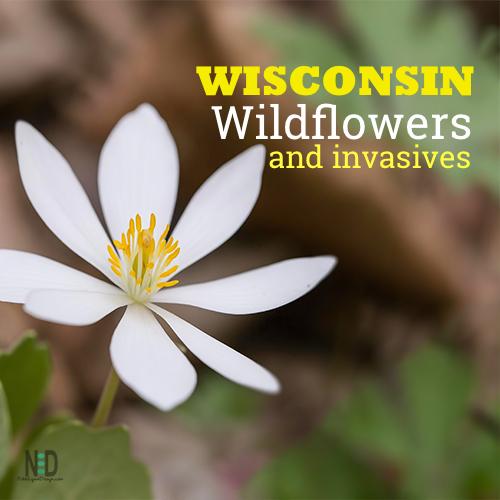 Wisconsin Wildflowers or Invasives