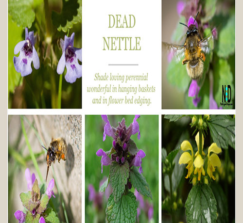 Dead Nettle Plant