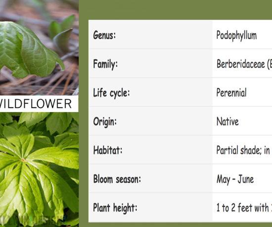 Mayapple Wildflower