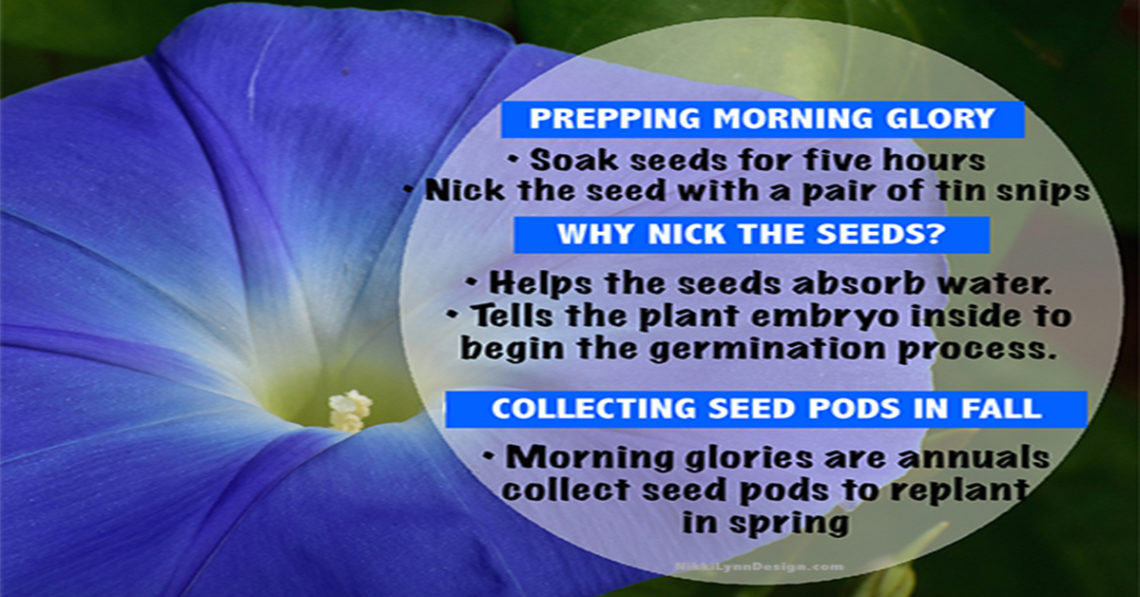 Collecting Morning Glory Seed, Storing it and Plant it