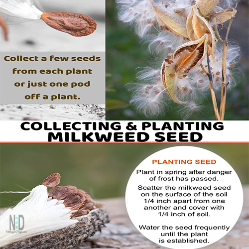 Collecting and Growing Milkweed Seed for Monarchs