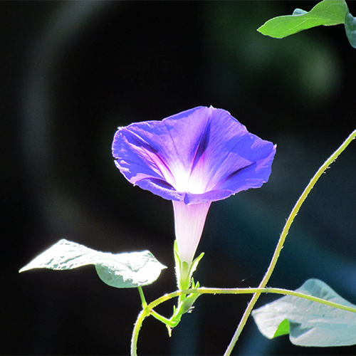 How to Plant and Care For Morning Glories