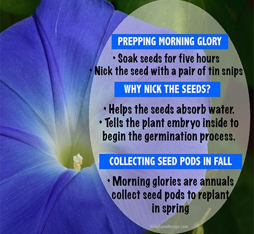 Grow Beautiful Morning Glories! Attract birds, hummingbirds and butterflies.