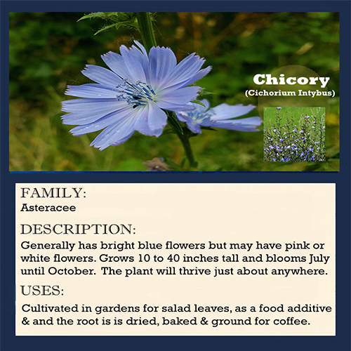 Chicory Blue Wildflower - Chicory is known for its electric blue flowers, creating a spectacular summer show along roadsides, ditches and fields.
