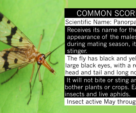 Common Scorpionfly - Redish Brown fly with clear and black wings.