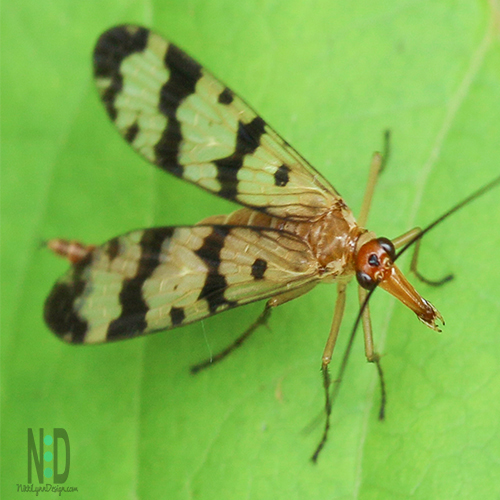Common Scorpionfly - Black and yellow wings, large black eyes, with a reddish brown head and tail and long nose.