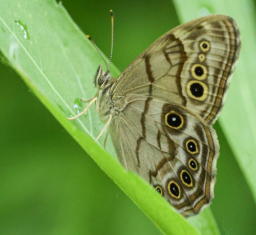 Northern Pearly Eye Butterfly July is for Bugs and Butterflies