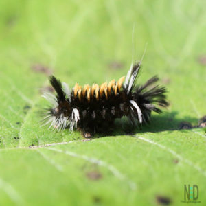 Milkweed Tussock Moth caterpillar - Black, white and brown caterpillar that feeds on milkweed leaves.