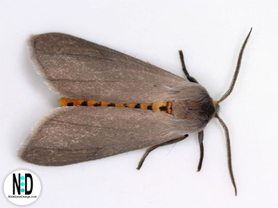 Tussock Moth Caterpillar Turns Into Milkweed Tiger Moth