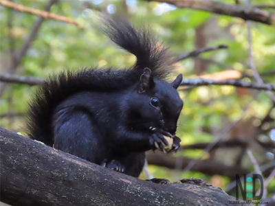 Black phase of squirrel may appear after several generations of grays.