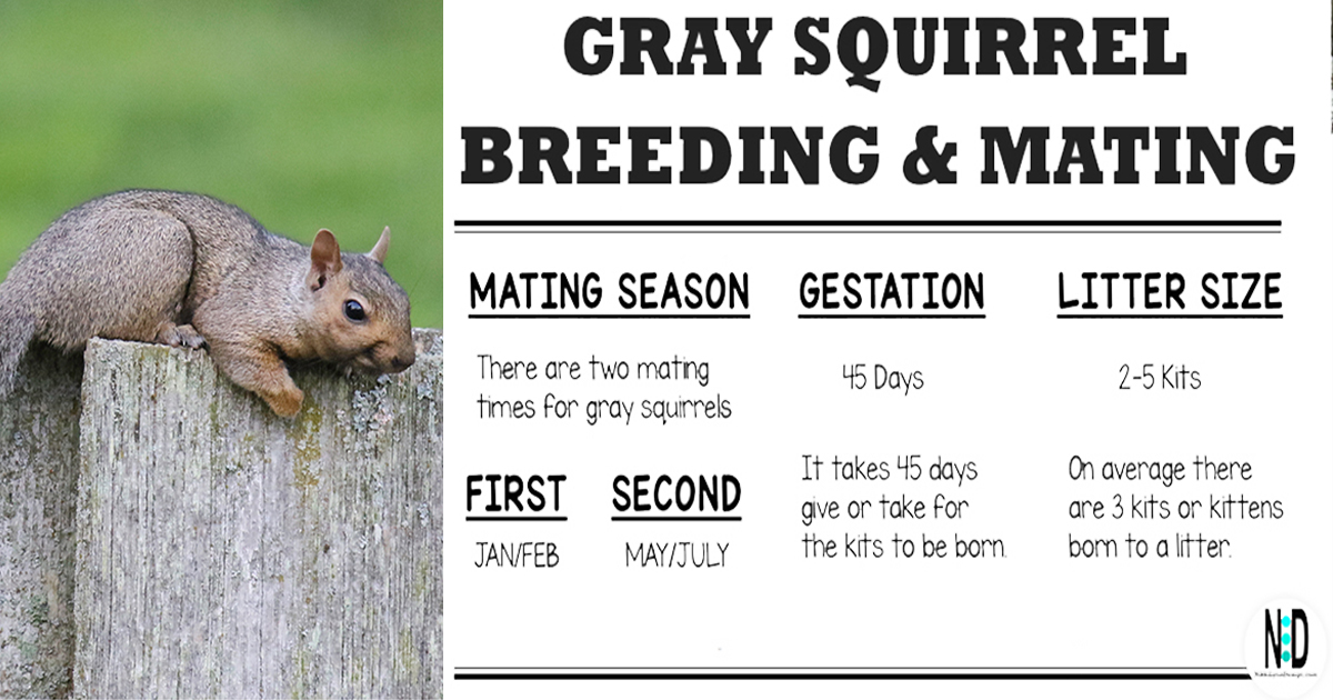 Gray Squirrel Mating and Breeding