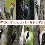 9 Woodpeckers of Wisconsin