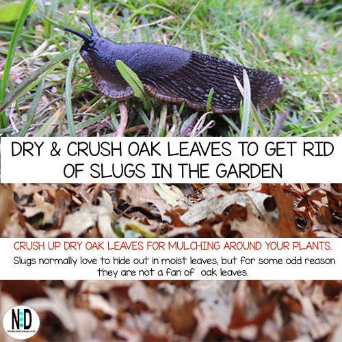 After oak leaves are dry, crush them and spread around garden plants.  Slugs hate oak leaves