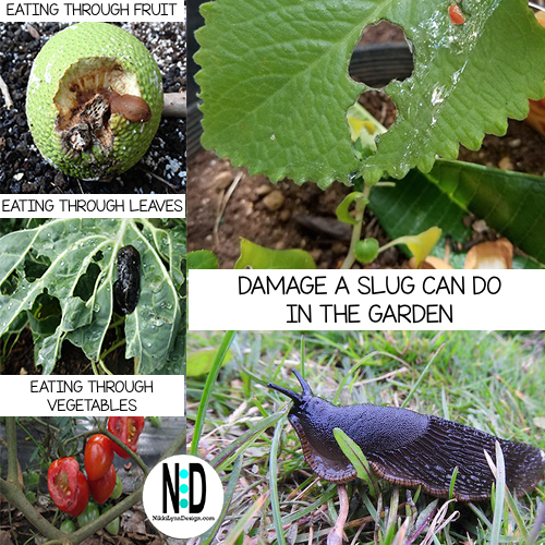 Slugs eating through vegetables,damage to plants leaves by slugs and a soft bodied slimy slug