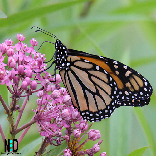 Adult Monarch butterfly on swamp milkweed.