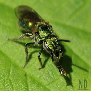 Augochlora Pura Bee - A metallic green bee thats name means pure magnificent green - which is fitting.