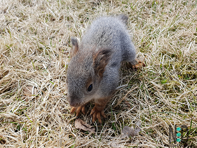 Baby squirrel.  There are 2-5 kits or kittens born to a little of Eastern Gray Squirrels.