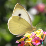 White butterfly with a black body and black dots on hind wings.