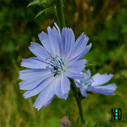 Chicory is known for its electric blue flowers, creating a spectacular summer show along roadsides, ditches and fields.