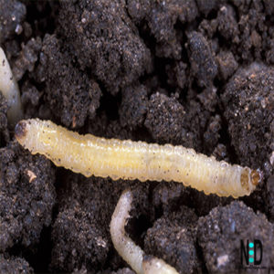 A white grub looking worm with a brown head.  The white grubs hatch and tunnel in the ground and eat the roots of your plants.